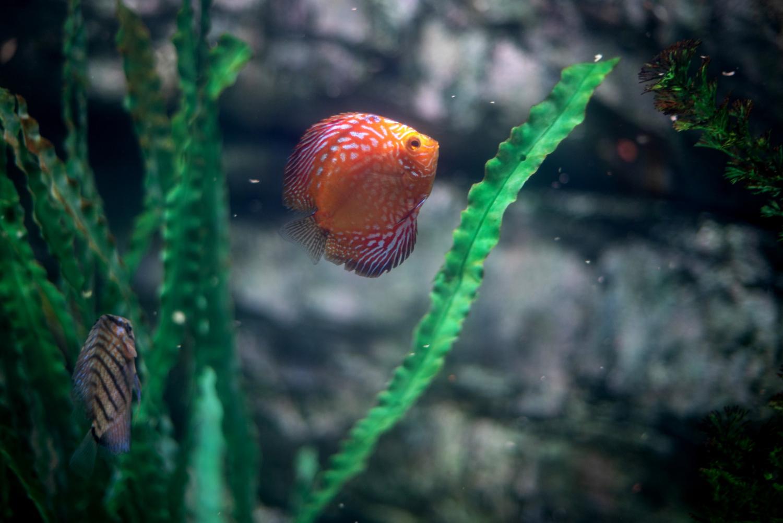 Sztucne rośliny w domowym akwarium z rybkami