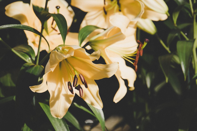 Kwiaty lilii