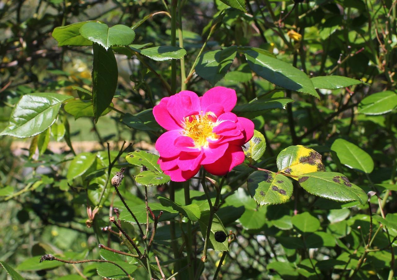 Mała róża w ogródku