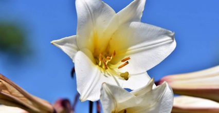 Lilie drzewiaste – okazałe i piękne rośliny cebulowe