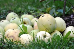 Sterta jabłek pod drzewem
