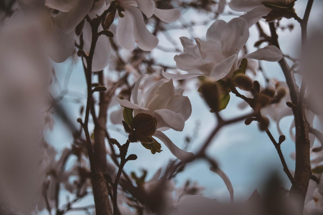 Kwitnąca biała magnolia