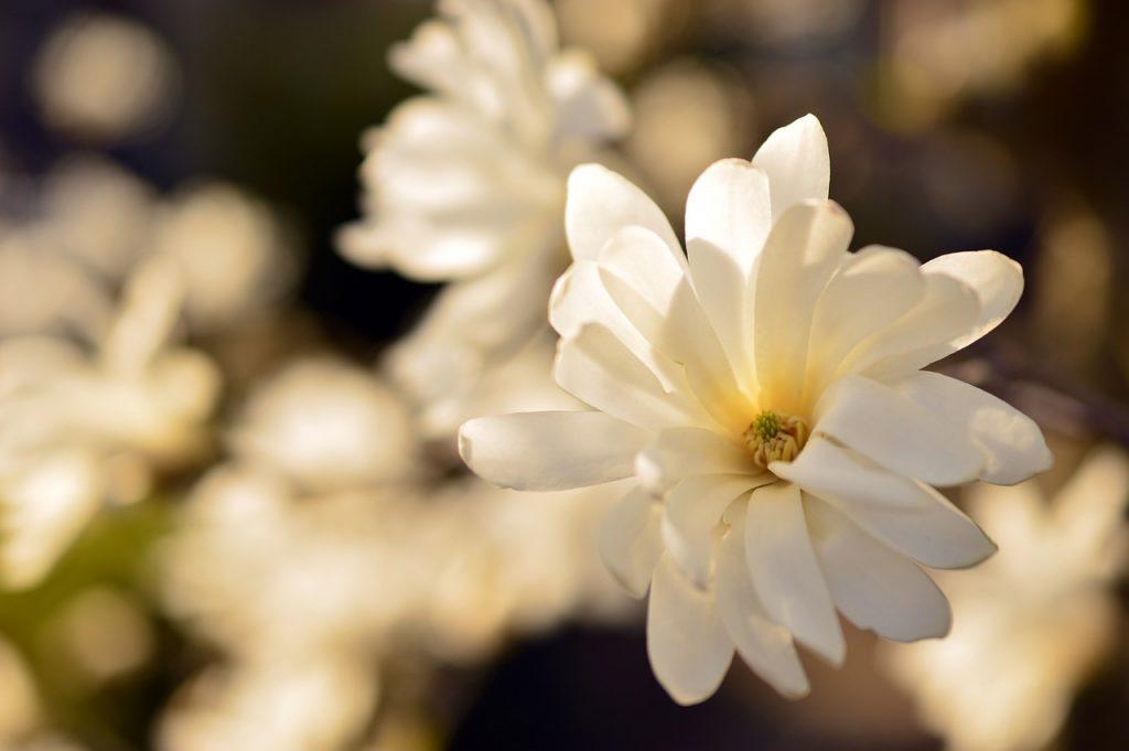 Kwiat magnoli gwiaździstej