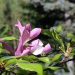Kiedy zakwita magnolia