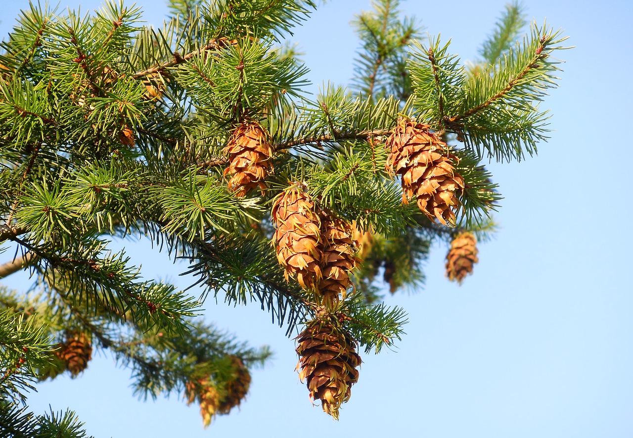 Drzewo daglezji zielonej