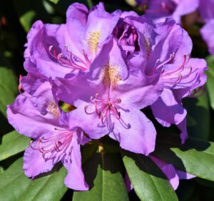 12 najładniejszych odmian rododendronów