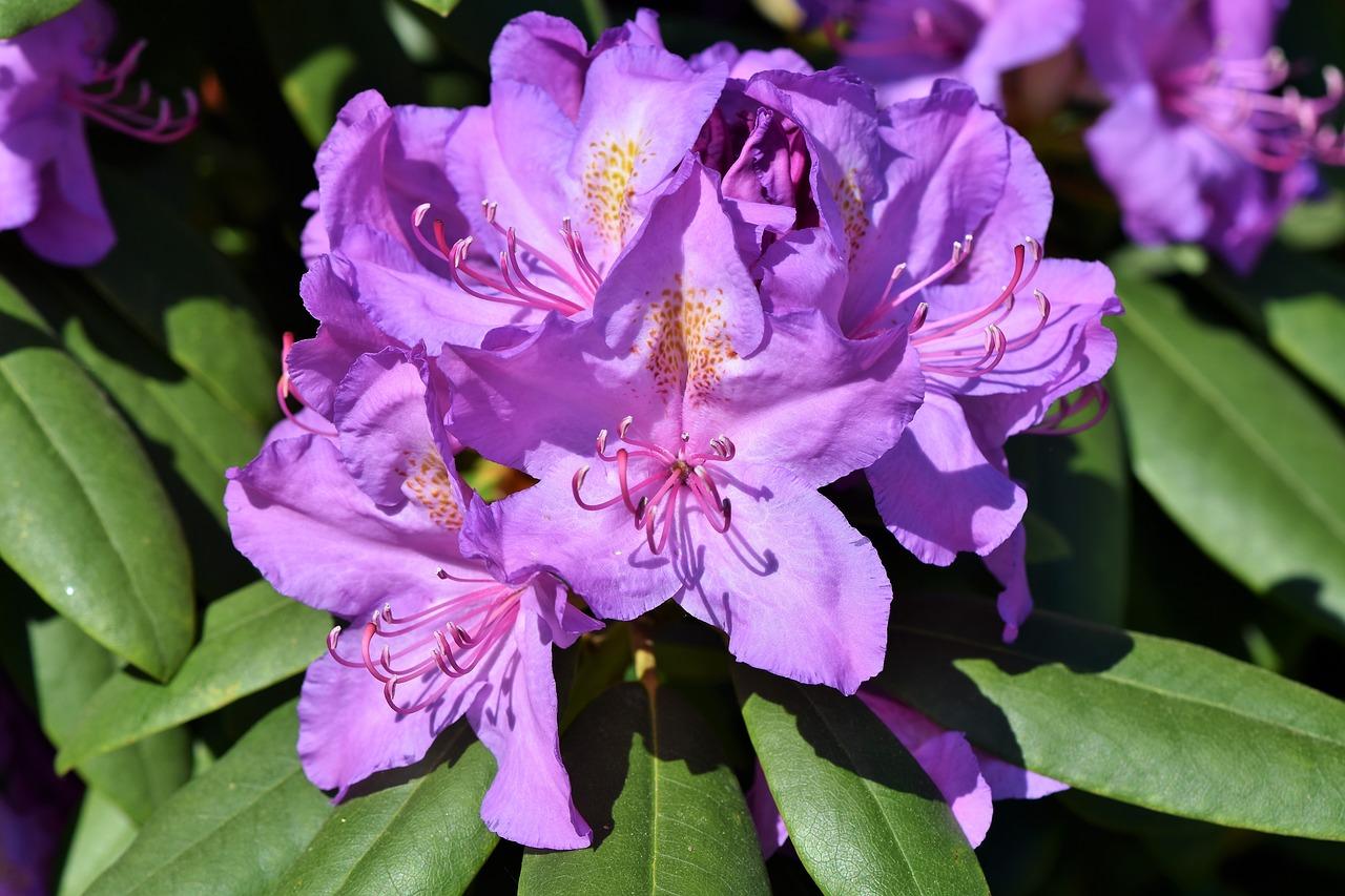 Najładniejsze odmiany rodedendronów