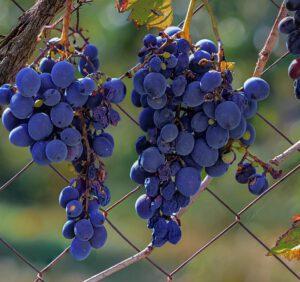 Uporczywe choroby winogrona i sposoby ich zwalczania