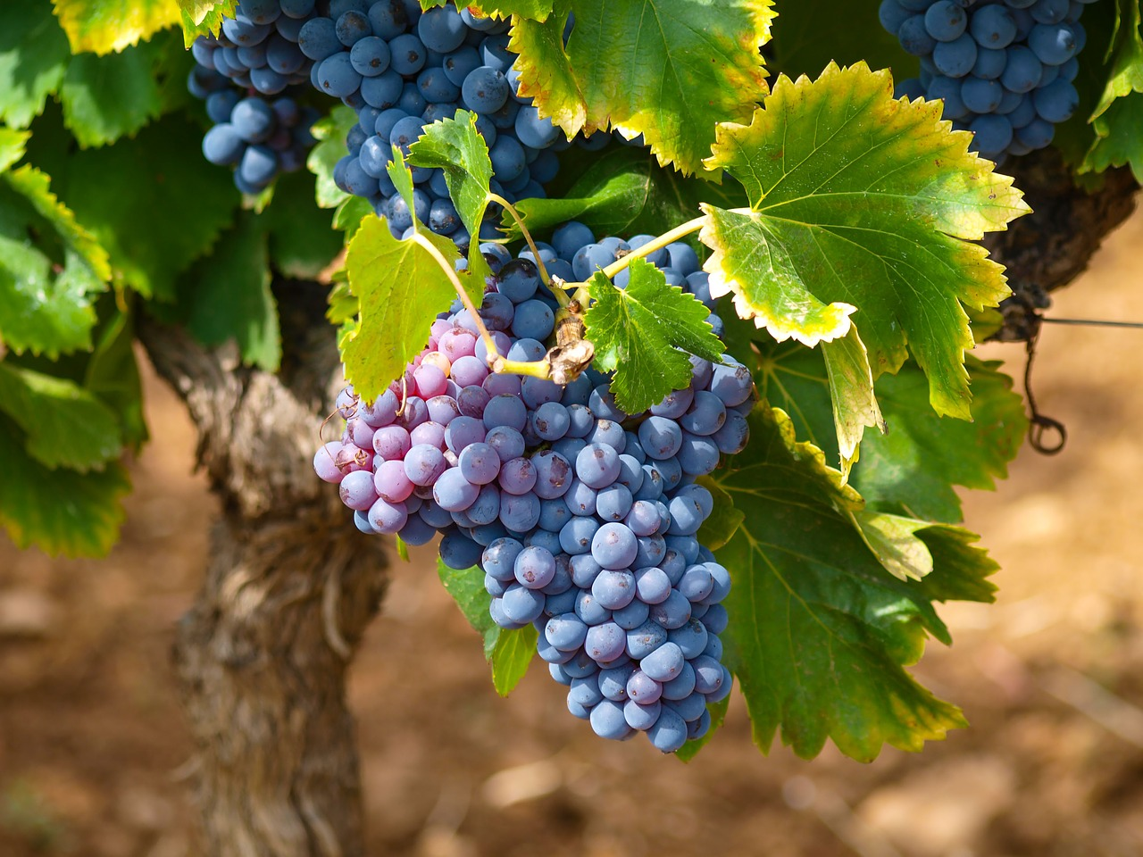 Pielegnacja winogron