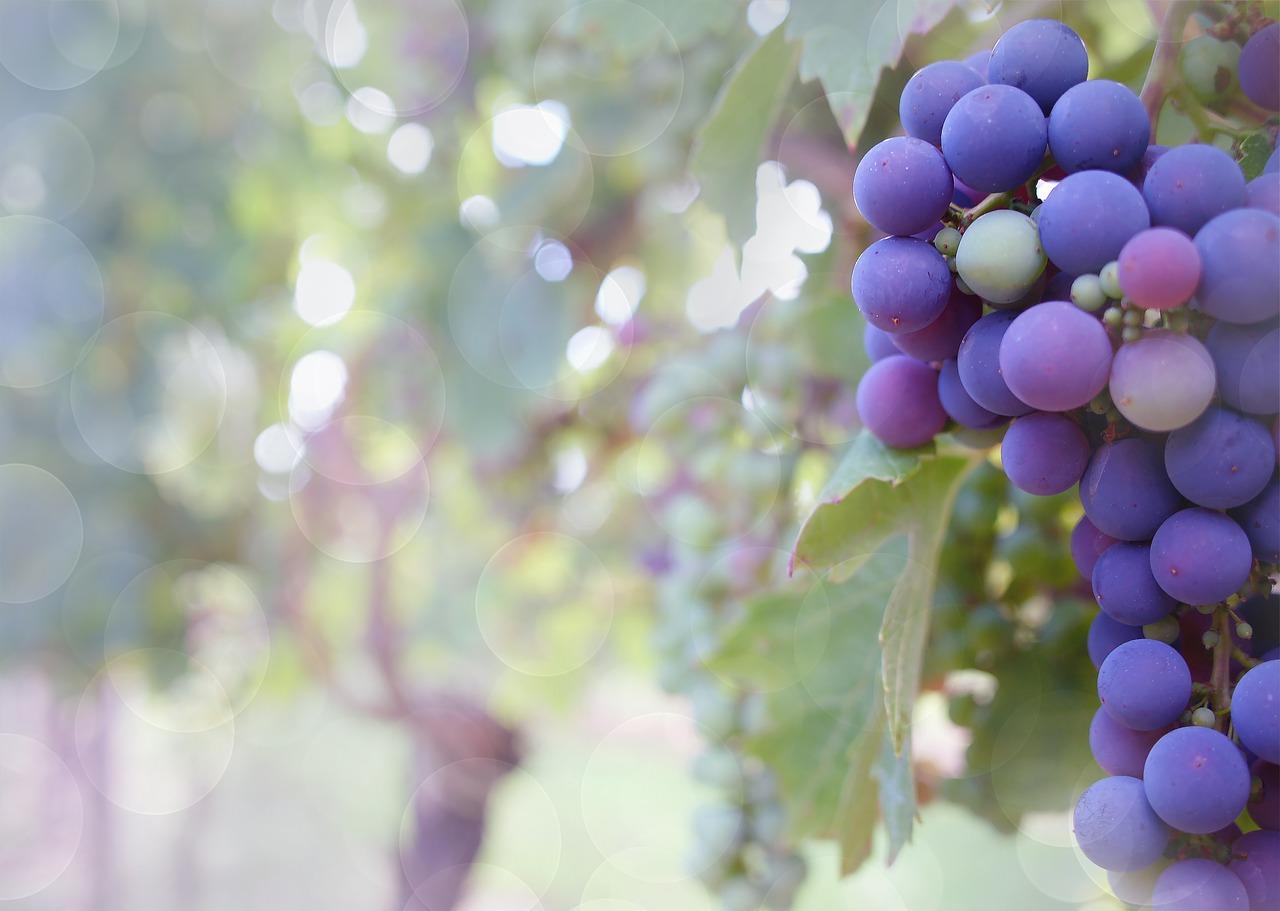 Kiedy i jak sadzimy winogrona – wszystko co musisz wiedzieć