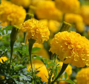 Aksamitki rozpierzchłe – odmiany i uprawa