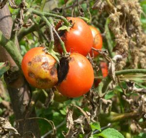 Najczęstsze choroby pomidorów i skuteczne sposoby ich zwalczania