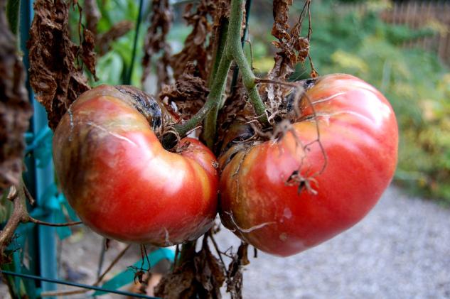 Zwalczanie chorób pomidorów