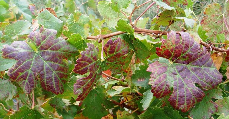 Najgroźniejsze choroby winogron