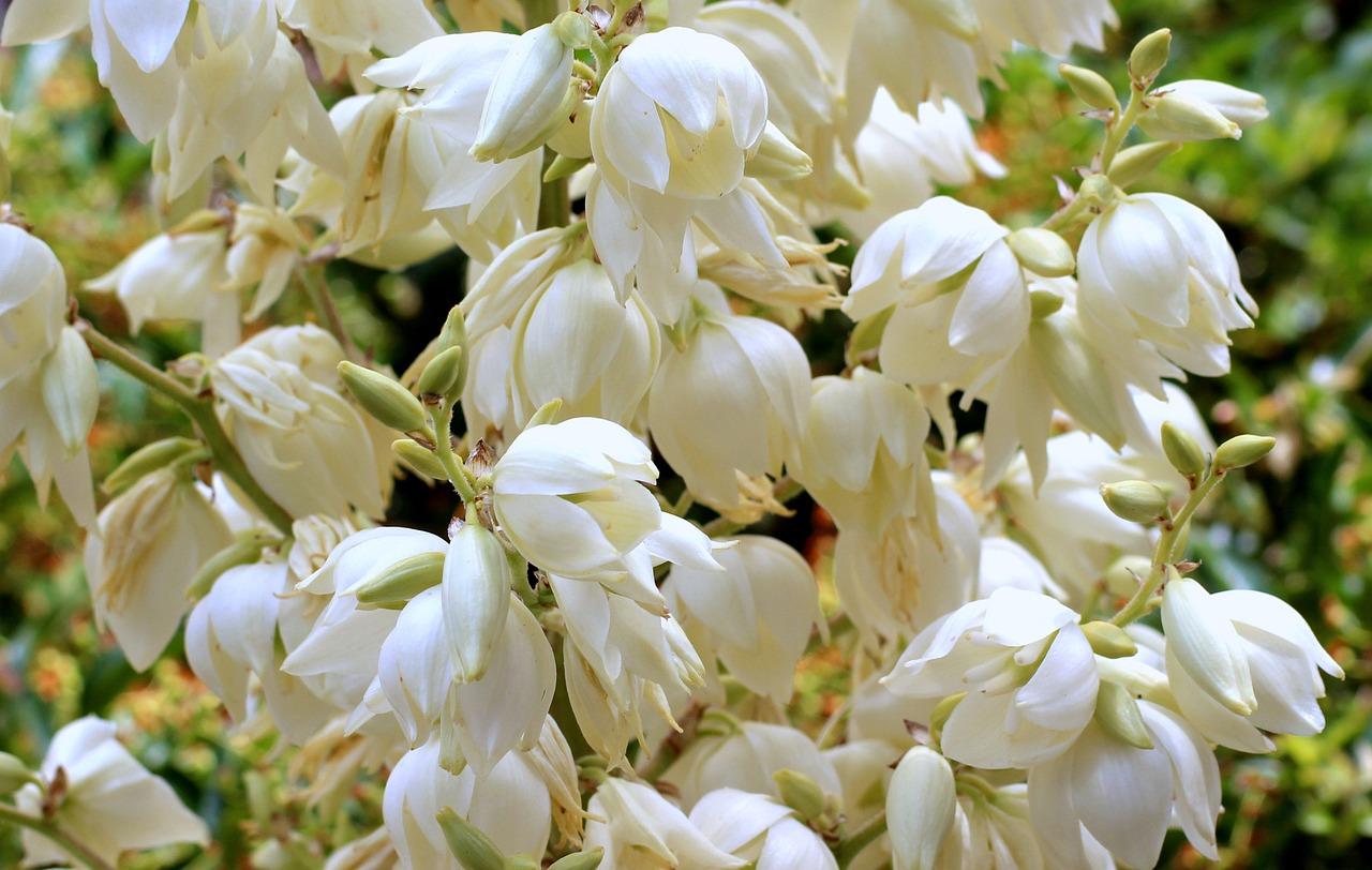 Białe kwiaty juki ogrodowej