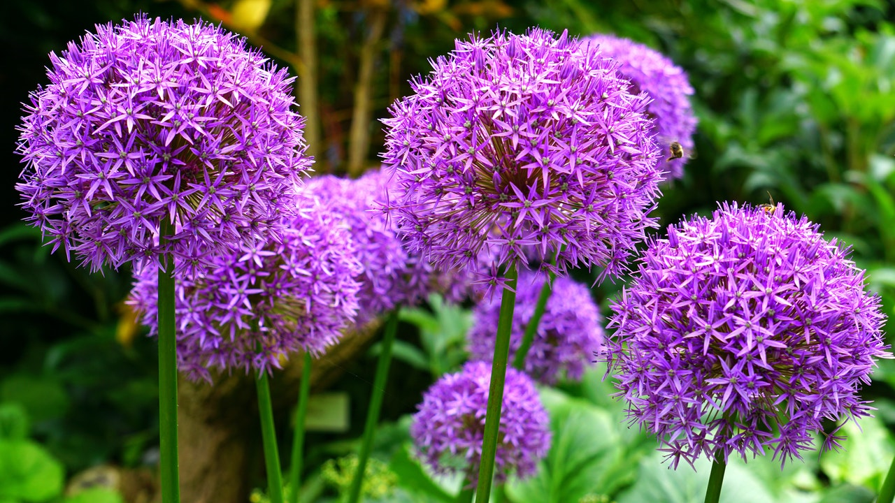 Fioletowe kwiaty w przydomowych ogrodach
