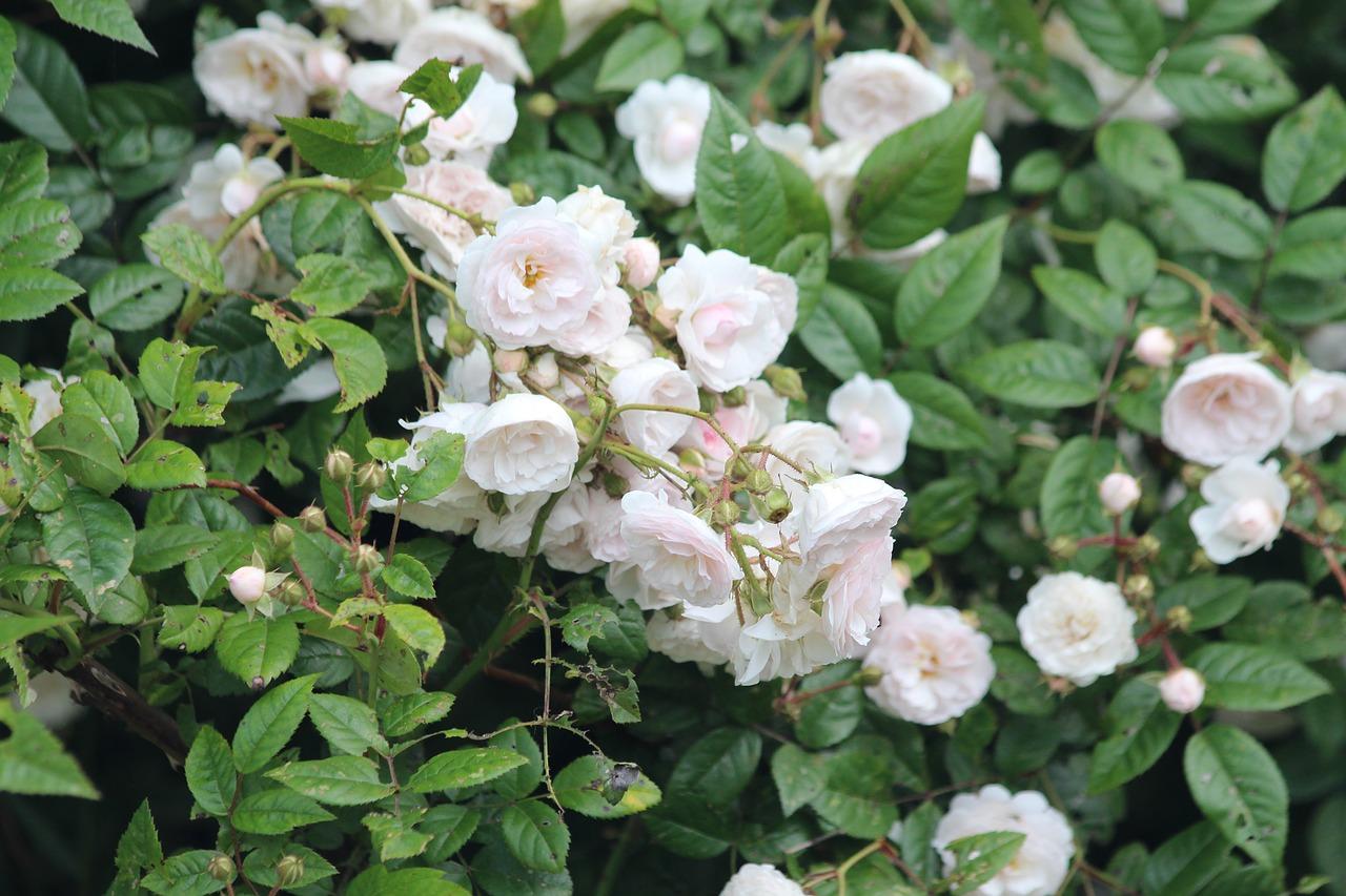 Biała róża pienna
