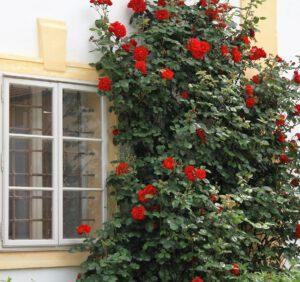 Róża na pniu – uprawa, pielęgnacja, zimowanie