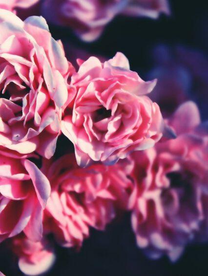Jak pielęgnować róże na pniu? 5 wartych zastosowania porad