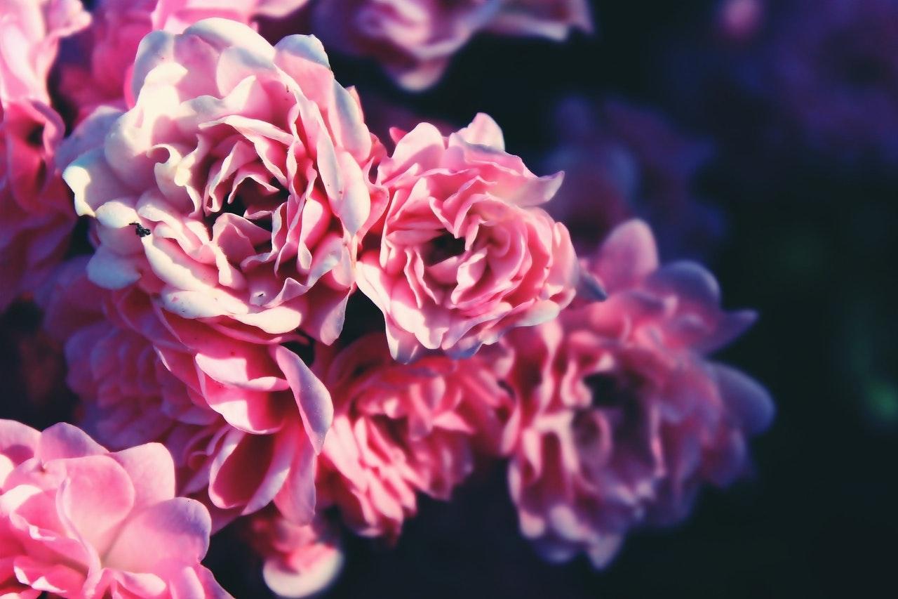 Delikatna róża na pniu