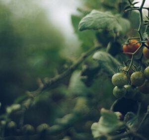 Uprawa pomidorów – kiedy i jak sadzi pomidory?
