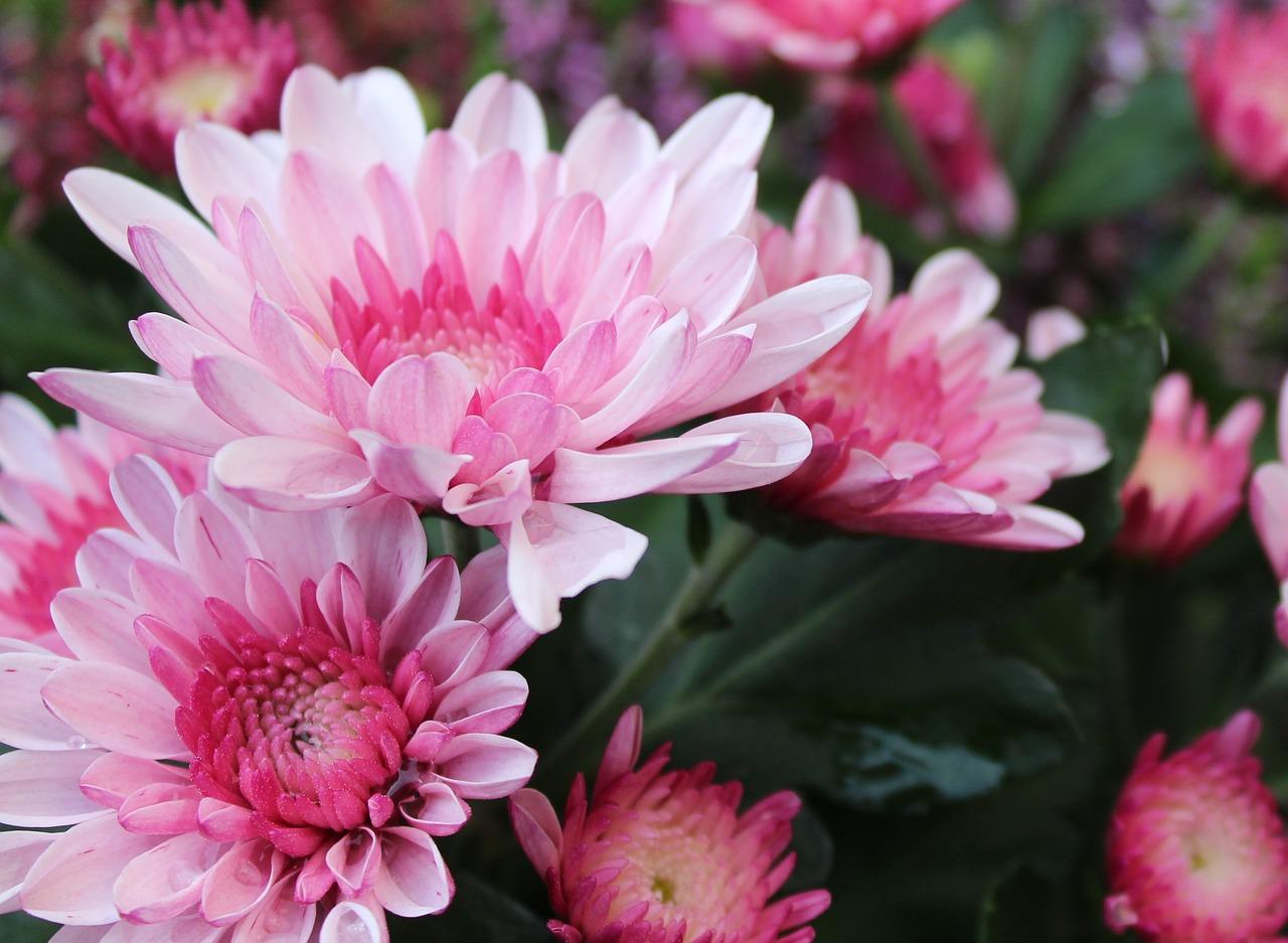 Chryzantemy – byliny o pięknych kolorach. Poznaj odmiany i sposoby uprawy chryzantem
