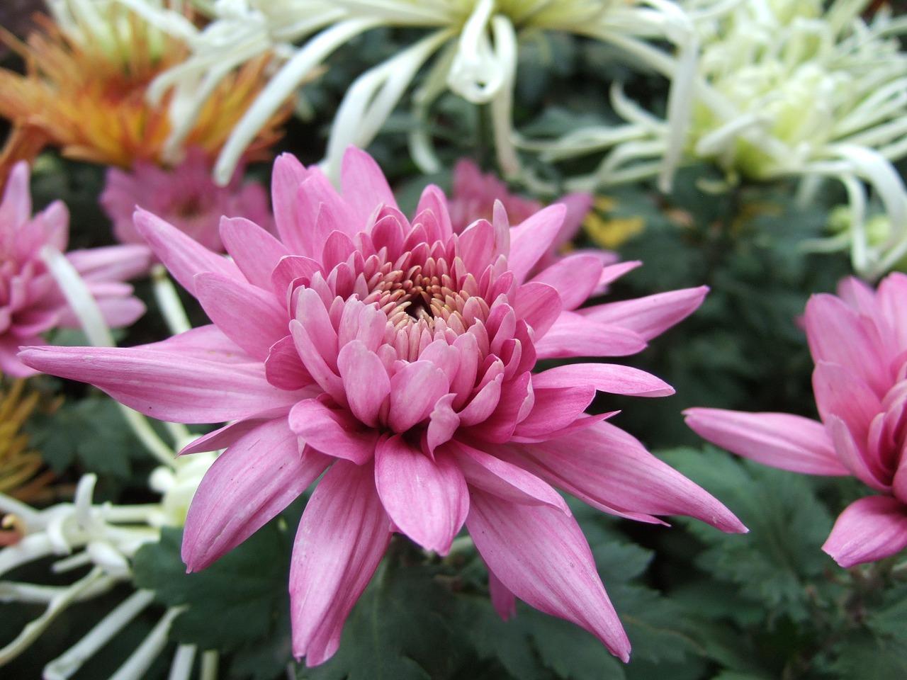 Duże kwiaty chryzantem w ogrodzie