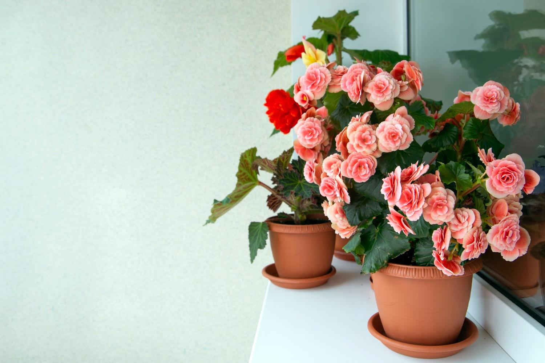 Begonia jako najpiękniejsza roślina doniczkowa