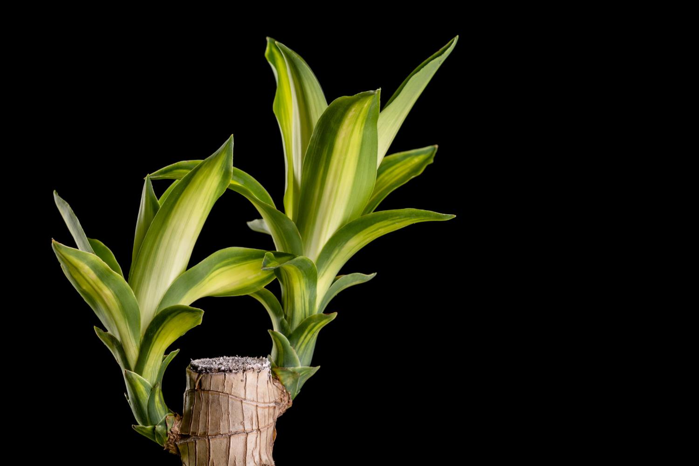 Dracena jako roślina doniczkowa