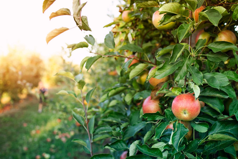 Popularna odmiana jabłoni