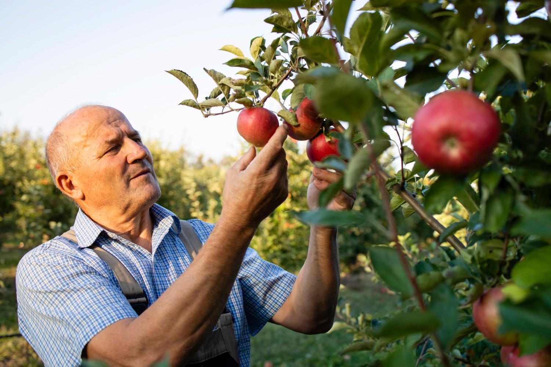 Popularne odmiany jabłoni