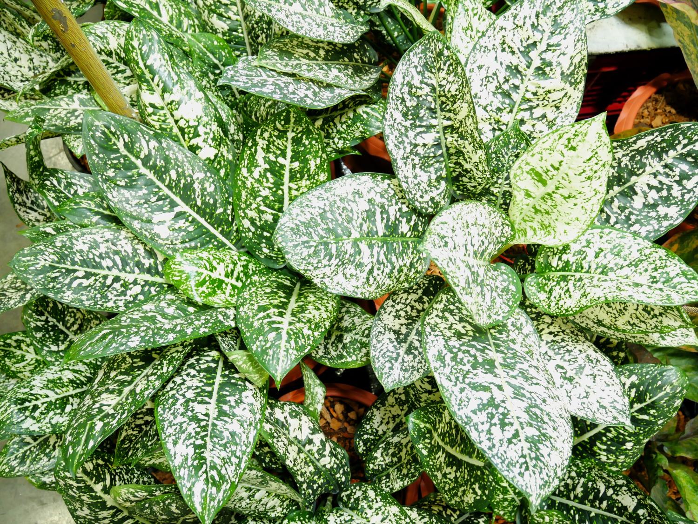 Roślina aglaonema