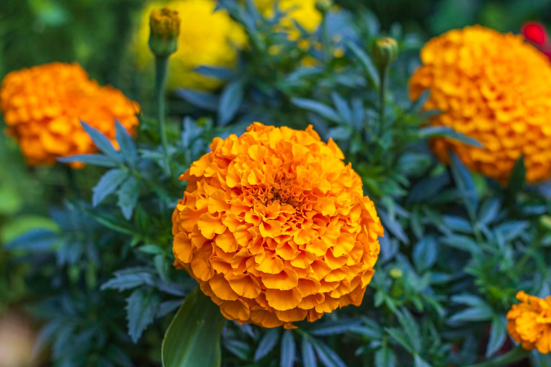 Jakie odmiany aksamitek warto wybrać do ogrodu i jak je pielęgnować?
