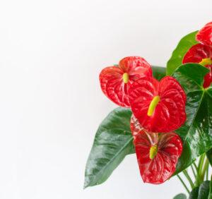 Anturium – wymagania, uprawa i pielęgnacja