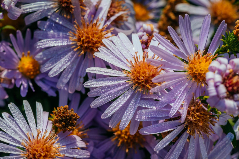 Fioletowy kwiat aster gawędka