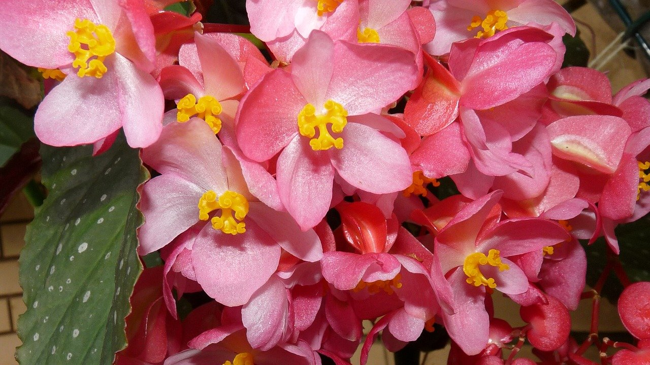 Begonia stale kwitnąca – charakterystyka i warunki uprawy