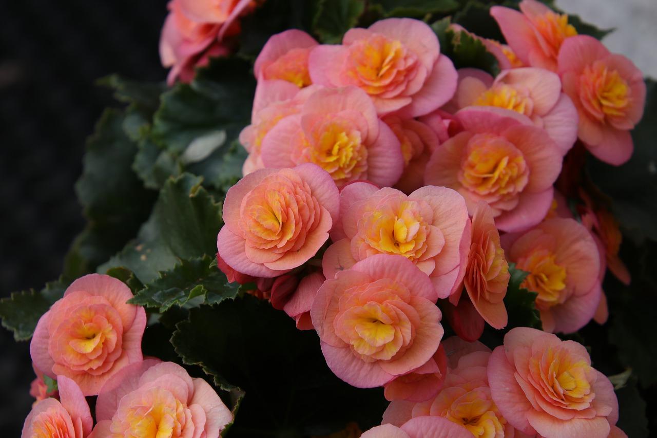 Różowa begonia zimowa