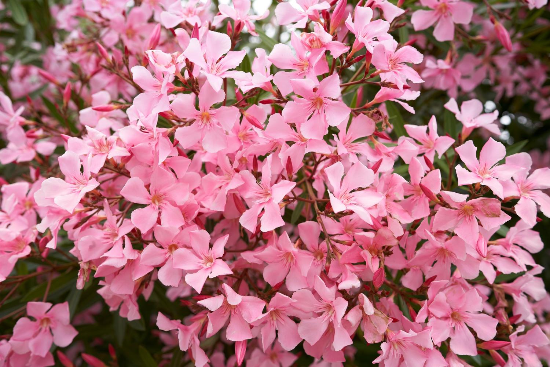 Floksy jako rośliny wieloletnie do ogrodu