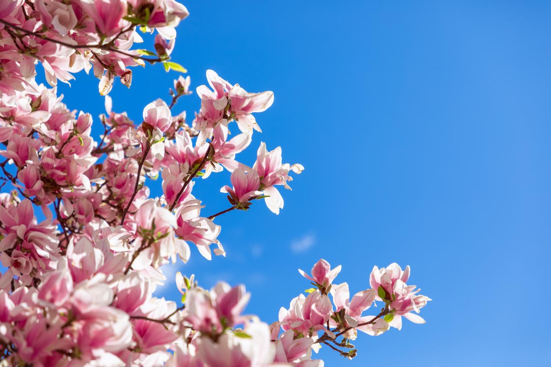 Magnolia – odmiany, wymagania, uprawa