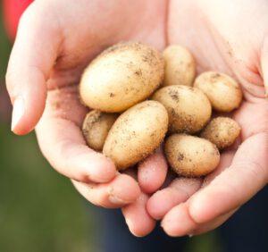 Najpopularniejsze odmiany ziemniaków i ich charakterystyka