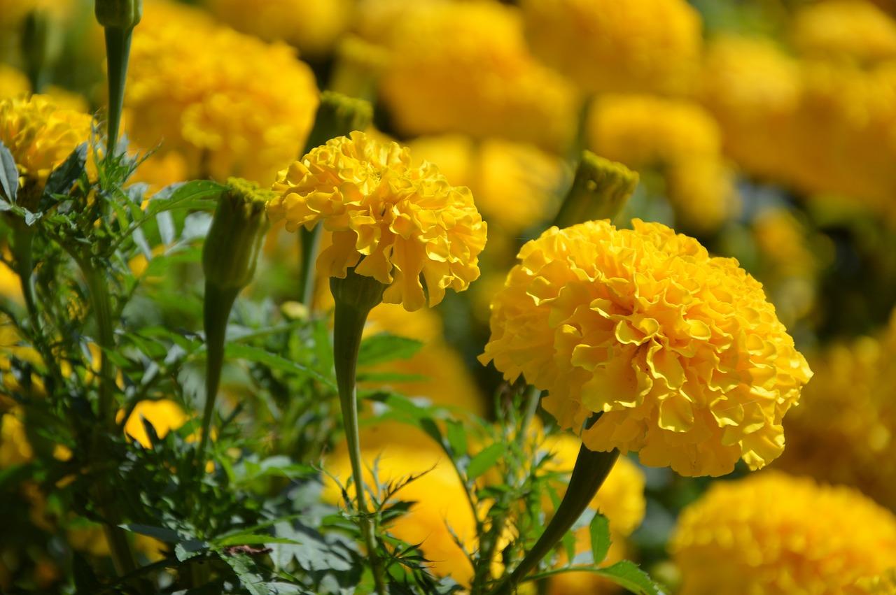 Żółta aksamitka rozpierzchła w ogródku