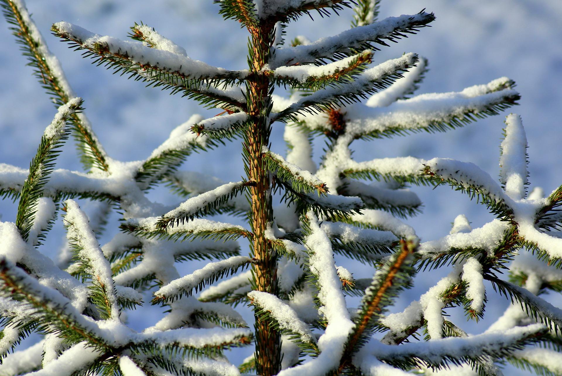 Jak przygotować krzewy iglaste na zimę?