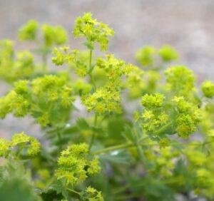 Przywrotniki – odmiany, uprawa, wymagania, właściwości