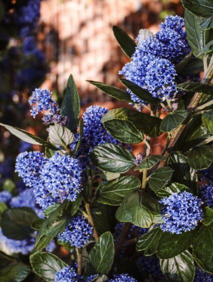 Prusznik niebieski – wszystko co musisz wiedzieć o uprawie i pielęgnacji tej rośliny