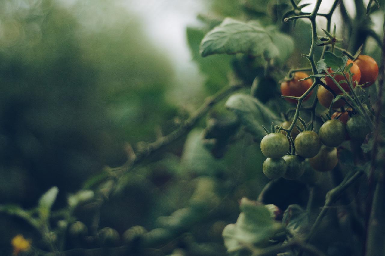 Uprawa i sadzenie pomidorów