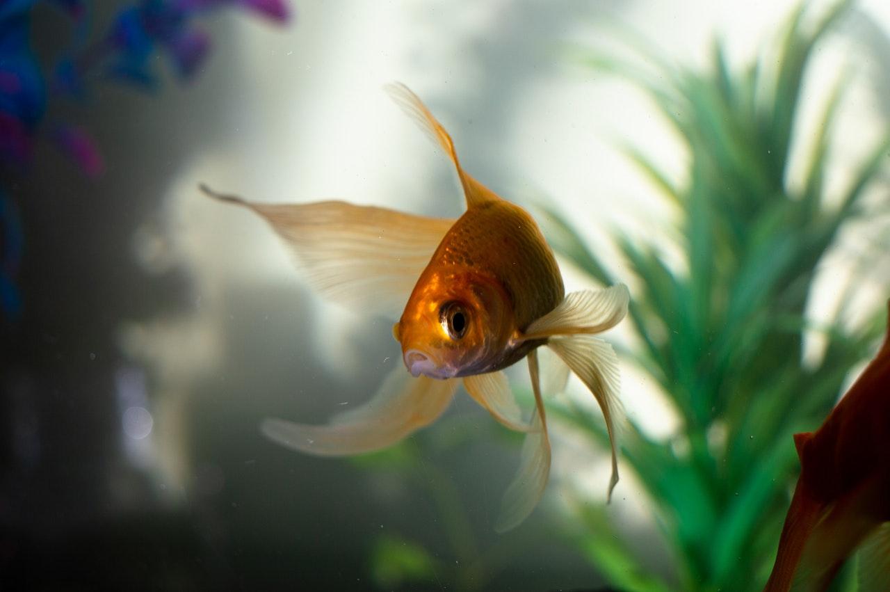 Rybka i prawidłowo dobrane do niej rośliny w akwarium
