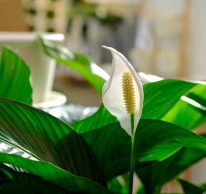 Skrzydłokwiat – gatunki, pielęgnacja i choroby, z którymi boryka się najczęściej