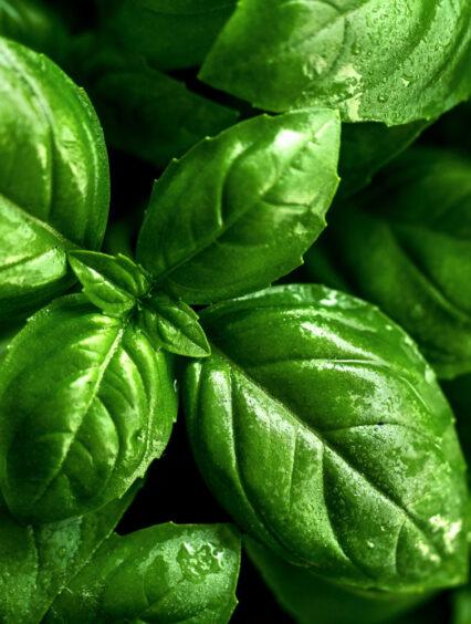 Uprawa bazylii – wszystko, co musisz wiedzieć