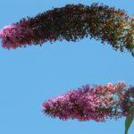 Budleja skrętolistna – cenne porady dotyczące uprawy i pielęgnacji
